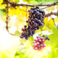 Grape fruit bunch of fresh in vineyard Royalty Free Stock Image