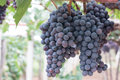 Grape fruit on tree Royalty Free Stock Photo