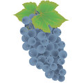 Grape Fruit Vector Stock Photos