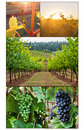 Grape growth in multiple images of vineyard from bud to final clusters grapes Royalty Free Stock Images