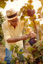 Grape harvest- man picking grapes in vineyard Royalty Free Stock Photo