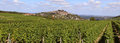 Grape harvest photo of vines during the of the vineyards of sancerre Royalty Free Stock Images