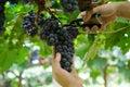Grape harvesting in loei thailand Stock Image