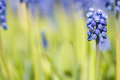 Grape hyacinth Stock Images