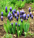 Grape hyacinth blue and pink Royalty Free Stock Photo