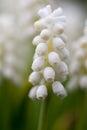 Grape Hyacinth Bulbs (Muscari) close up Royalty Free Stock Photo