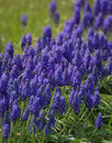 Grape hyacinth bush during the spring Royalty Free Stock Photography
