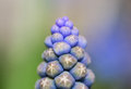 Grape hyacinth close up of a Royalty Free Stock Images