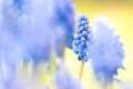 Grape hyacinth close up of blurred Stock Photo
