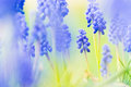 Grape hyacinth close up of blurred Stock Images