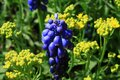 Grape hyacinth in the garden Royalty Free Stock Photo