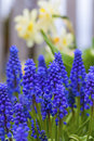 Grape hyacinth a muscari armeniacum flower or commonly known as in a spring garden Stock Photography