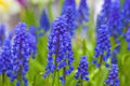Grape hyacinth a muscari armeniacum flower or commonly known as in a spring garden Stock Photo