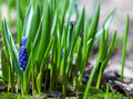Grape hyacinth or muscari armeniacum flower in nature Stock Photo