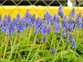 Grape hyacinth Muscari armeniacum flowering in early spring. Macro of blue Muscari flower meadow with yellow curb and chain link f Royalty Free Stock Photo