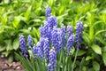 Grape hyacinth (Muscari armeniacum) Royalty Free Stock Photo
