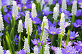 Grape Hyacinth - Muscari Flowe...