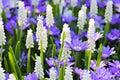 Grape hyacinth - muscari flowers closeup