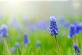 Grape Hyacinth or Muscari Latifolium botryoides flower bulbs Royalty Free Stock Photo
