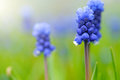 Grape Hyacinth or Muscari Latifolium botryoides flower bulbs macro Royalty Free Stock Photo