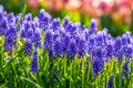 Grape Hyacinth in park Royalty Free Stock Photo