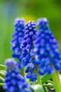 Grape hyacinth purple blooms in the garden Royalty Free Stock Photo