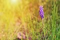 Grape hyacinth in the sunny field Stock Photo
