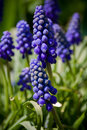 Grape hyacinth urn shaped flowers of resembilng the bunch Stock Photography