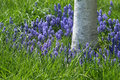 Grape Hyacinths Royalty Free Stock Image