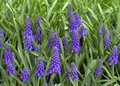 Grape hyacinths a close up of hyacinth bulbs in full bloom in the springtime taken with a macro lens Stock Images