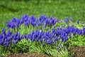Grape Hyacinths in Spring Stock Photography