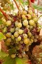 Grape illness/disease Stock Image