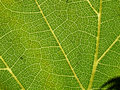 Grape leaf 02 Stock Photos