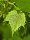 The grape leaf Stock Images