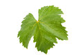 Grape leaf Stock Image