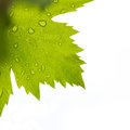 Grape leaf closeup with water drops against white background Royalty Free Stock Image