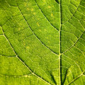 Grape leaf detailed green macro Stock Photography