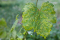Grape leaf disease Royalty Free Stock Photo