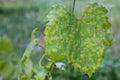 Grape leaf disease closeup of vine affected by downy mildew plasmopara vitikola Royalty Free Stock Image