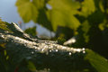 Grape leaf with drops of rain close up Stock Photography