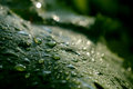 Grape leaf with drops of rain close up Stock Images