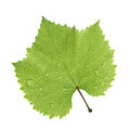 Grape leaf isolated on white Royalty Free Stock Photo