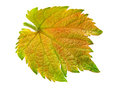 Grape leaf isolated Royalty Free Stock Photo