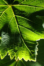Grape leaf, macro photo Stock Photo