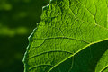 Grape leaf textured part front Stock Images