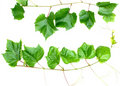 Grape leafs Stock Photography