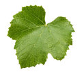 Grape leave isolated on the white background Royalty Free Stock Photo