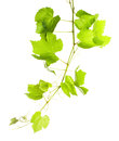 Grape leaves Royalty Free Stock Photo