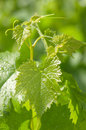 Grape leaves on a green background Royalty Free Stock Photo