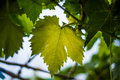 Grape leaves green Royalty Free Stock Photo